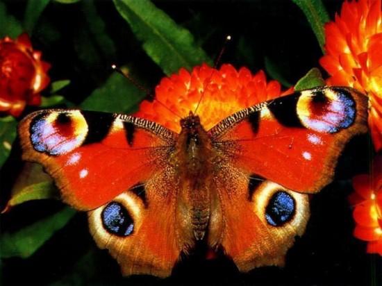 Как различать бабочек