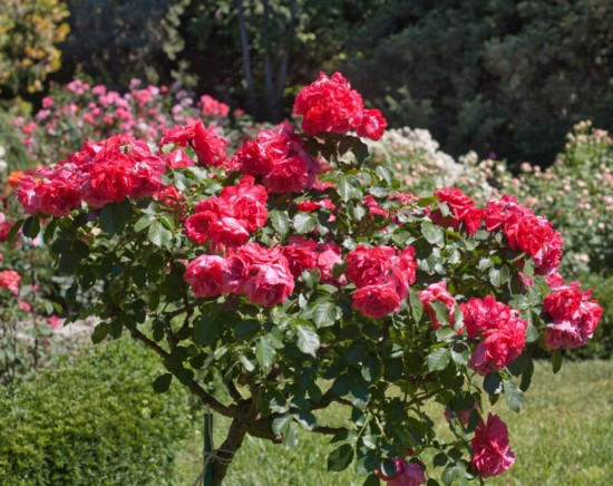 Разведение роз на собственном участке